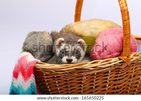 Two sable ferrets lying  in the basket with colorful balls of yarn - stock photo