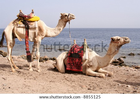 Two saddled bedouin camels waiting for tourists - stock photo