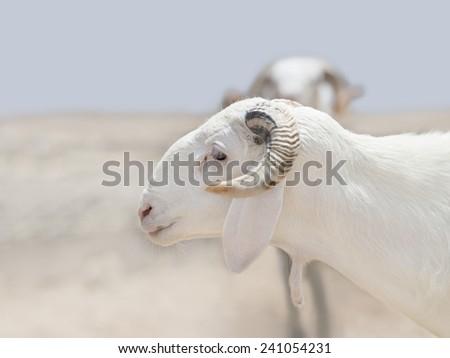 Two Sahelian Rams - stock photo