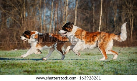 Two saint bernard dogs playing on the meadow - stock photo