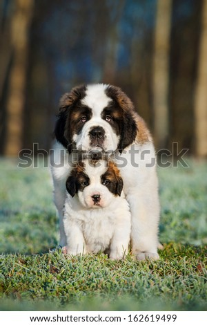Two saint bernard puppies - stock photo