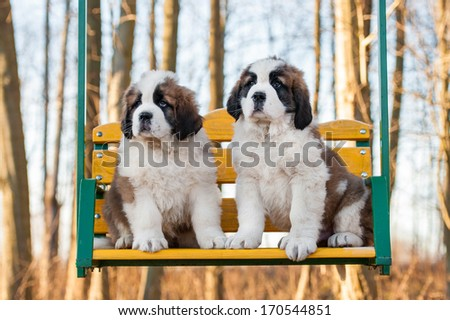 Two saint bernard puppies siting on the seesaw - stock photo