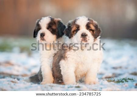 Two saint bernard puppies sitting outdoors - stock photo