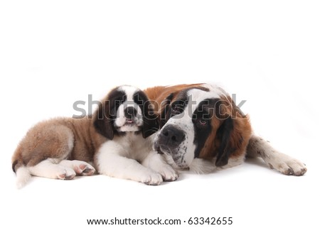 Two Saint Bernard Puppies Together on a White Background - stock photo