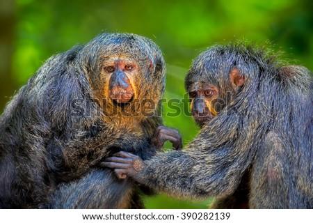 Two Saki Monkeys - stock photo