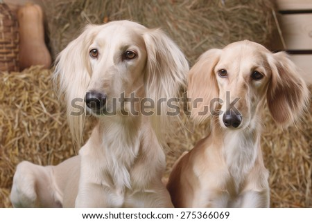 two saluki dog portrait on the background of dry grass