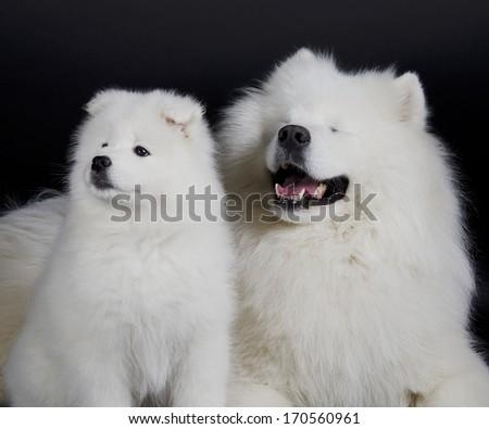 Two Samoyed dogs (isolated on a black background) - stock photo