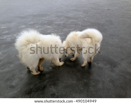 Two Samoyed looking for something on the frozen lake