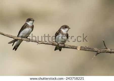 Two sand martin on branch - stock photo