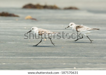 Two Sanderling (Caladris alba) running along the beach - stock photo