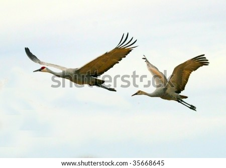 Two sandhill cranes (Grus canandensis) fly overhead against a pale sky. They are one of the largest cranes in North America. - stock photo