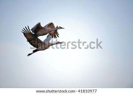 Two sandhill cranes in flight at Bosque del Apache in New Mexico. - stock photo