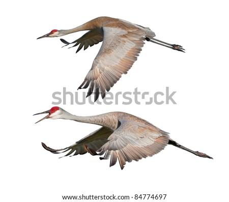 stock-photo-two-sandhill-cranes-in-fligh