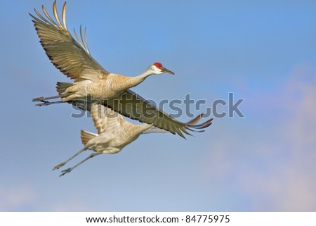 Two Sandhill Cranes in the morning flight. Latin name - Grus cannadensis.