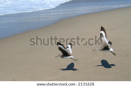 Two sandpiper birds flying together on the beach. - stock photo