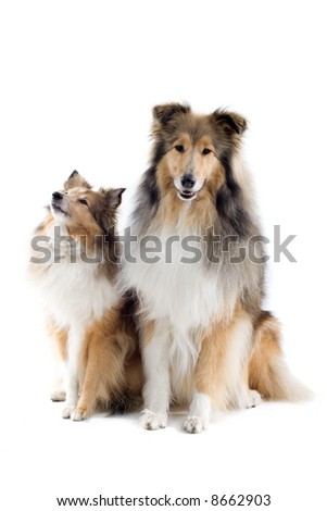 two  Scottish collie dogs isolated on a white background