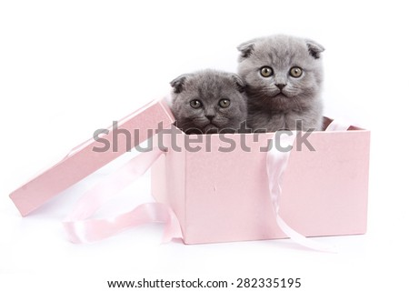 Two Scottish Fold kitten sitting in a box and look at the camera (isolated on white) - stock photo