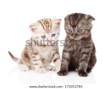 two scottish kittens. isolated on white background - stock photo