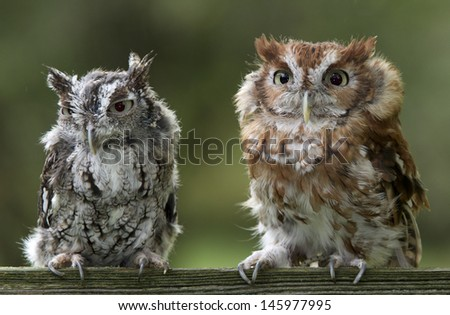 Two Screech owls on fence railing.   - stock photo