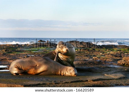 Two sea lions resting on the shores of the galapagos islands of ecuador - stock photo