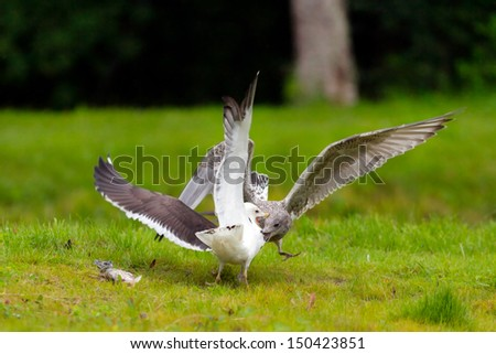 Two seagulls attacking each other when fighting over a fish - stock photo