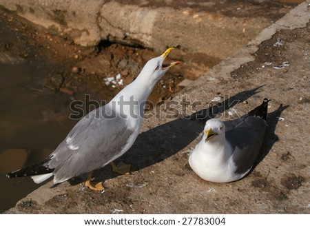 Two seagulls. Essaouira, Morocco, Africa. - stock photo