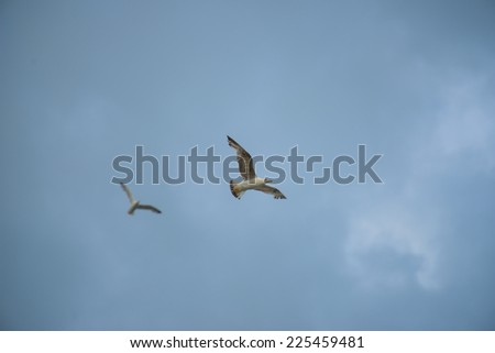 Two seagulls flying in the blue sky, Conero NP, Marche, Italy