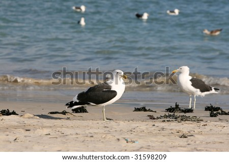 Two Seagulls standing on the beach, others floating on the sea