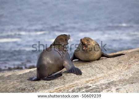 Two seals fighting on a rocky island. - stock photo