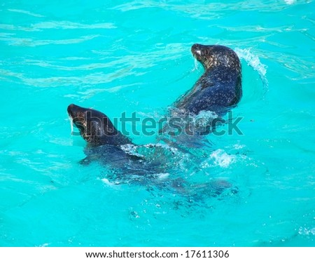 Two seals swimming in the pool