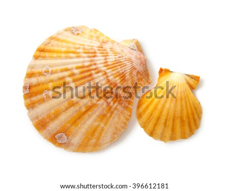 Two seashells on white background in closeup - stock photo