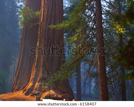 Two sequoias highlighted against a smoky, bluish backdrop - stock photo