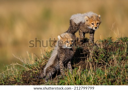 Two seven weeks old Cheetah cubs in Masai Mara watching her mother when hunting.  Her mother is Amani, daughter of Saba. - stock photo