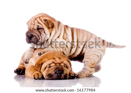two Shar Pei baby dogs, almost one month old - stock photo