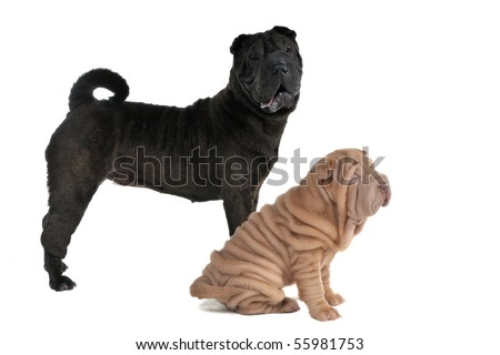 Two Shar-Pei Dogs - puppy and adult - stock photo