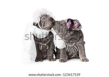 Two sharpei puppy dog dressed in wedding attire, on white background - stock photo