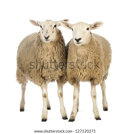 Two Sheep against white background - stock photo