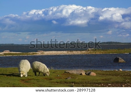 Two sheep along coast in a gulf of Baltic sea - stock photo