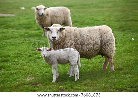 Two sheep and a lamb - stock photo