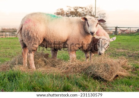 Two sheep eating hay in a field - stock photo