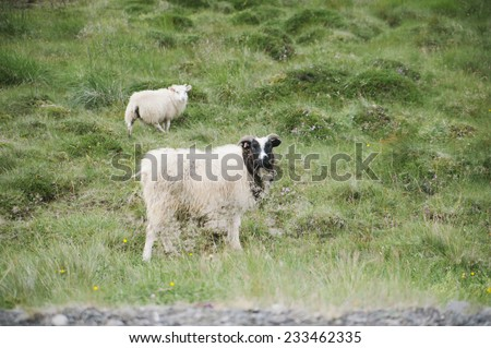 Two sheep feeding on the green Icelandic field  - stock photo