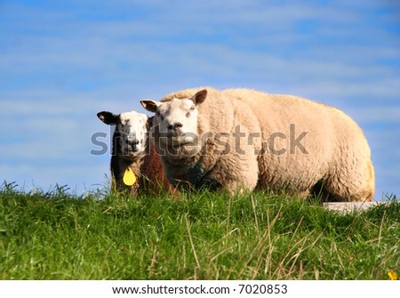 Two sheep in a meadow