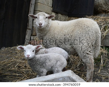 Two sheep mother with lamb stands and looks into the camera - stock photo