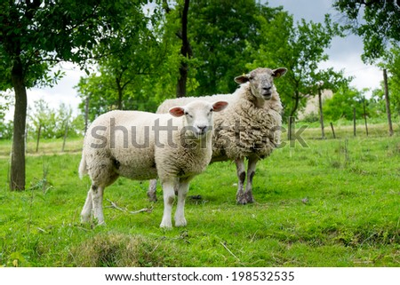 Two sheep on pasture - stock photo
