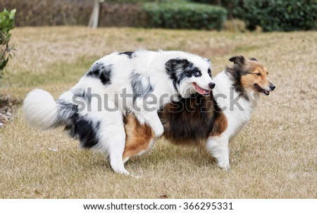 Two sheepdog making love, funny expressions. - stock photo