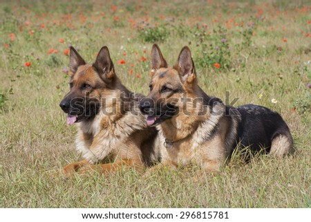 Two sheepdogs laying on the poppy field - stock photo