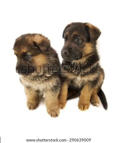two sheepdogs puppies are isolated on white background - stock photo
