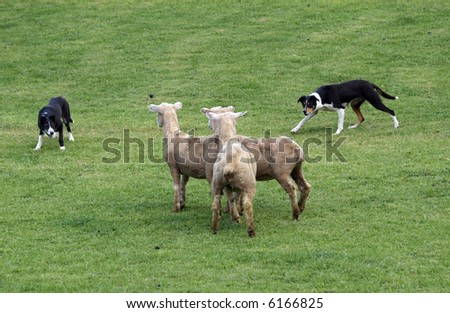 Two Sheepdogs working three sheep - stock photo