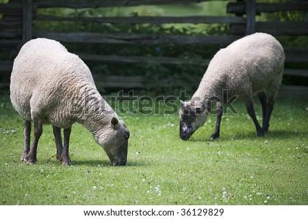 two sheeps grazing grss/ domestic animal - stock photo