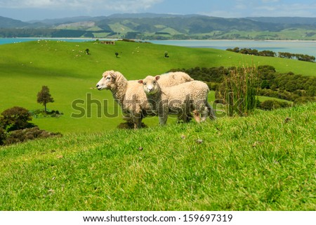 Two Sheeps on Green Field of the Pacific Sea Coast, Duder Regional Park, Auckland Region, New Zealand - stock photo